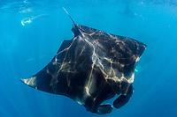 Giant Oceanic Manta Ray, Mobula birostris, formerly Manta birostris, feeding, Caribbean Sea, Atlantic Ocean