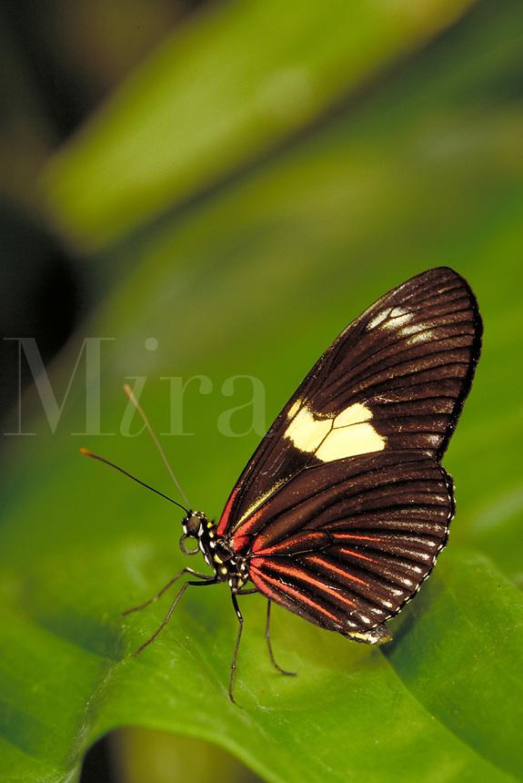 "HELICONIUS DORIS, """"Doris Butterfly"""", Subfamily - Heliconiinae; Family - Nymphalidae; Order - Lepidoptera; Class - Insecta.  Range - Neotropical.  Host plant - Passiflora ambigua (passifloraceae). New Orleans LA USA Audubon Zoo."