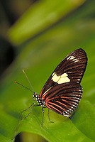 "HELICONIUS DORIS, """"Doris Butterfly"""", Subfamily - Heliconiinae; Family - Nymphalidae; Order - Lepidoptera; Class - Insecta.  Range - Neotropical.  Host plant - Passiflora ambigua (passifloraceae). New Orleans LA USA Audubon Zoo."