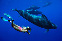 diver and short-finned pilot whale, Globicephala macrorhynchus, Hawaii, Pacific Ocean, MR