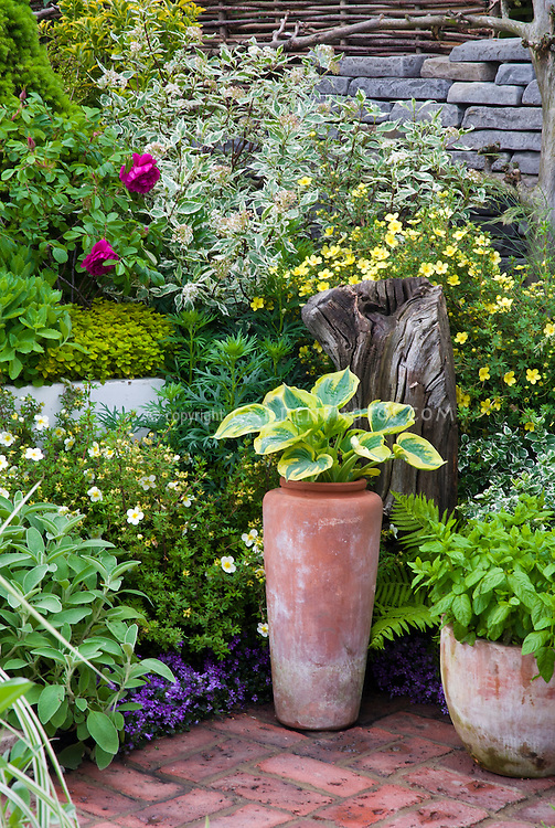 Focal point tall container planter terracotta on brick patio, with hosta. Raised beds, container pots garden, wall, flowers, perennials, ornamental grass, shrubs, trees, mixed garden with brick patio, rustic, lush shrub style, herbs, rock rose potentilla shrub