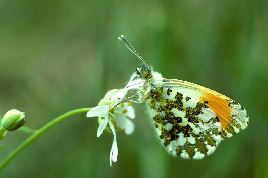 Oranje tip (Anthocharis cardamines)