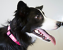 06/01/16<br /> <br /> Holly at the PDSA Pet Hospital in Leicester.<br /> <br /> Holly is an 18-month-old Border Collie who was brought into PDSA's Leicester Pet Hospital suffering with acute peritonitis. Her chances of survival were as low as 1 in 10 but thanks to the tireless efforts of staff and three life-saving operations, Holly pulled through and is on the road to making a full recovery. Mr and Mrs Gray are extremely grateful for the care given by PDSA and their son Tim has even started a fundraising challenge – a dryathlon in January – to raise money for the charity.<br /> <br /> All Rights Reserved: F Stop Press Ltd. +44(0)1335 418365   +44 (0)7765 242650 www.fstoppress.com