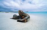 Galapagos Sea Lion, Isla Santa Fe, Galapagos Islands, Ecuador