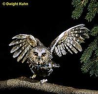 OW07-115z  Saw-whet owl - taking off - Aegolius acadicus