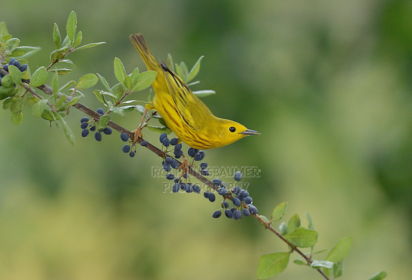 Yellow Warbler (Dendroica petechia), adult male perched on Elbow bush (Forestiera pubescens) with berries, Hill Country, Texas, USA