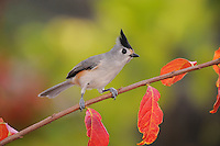 Black-crested Titmouse (Baeolophus atricristatus), adult on Crape Myrtle (lagerstroemia), New Braunfels, San Antonio, Hill Country, Central Texas, USA
