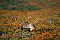 Barren Ground Caribou bull (Rangifer tarandus).  Tundra.  Alaska.  Fall.