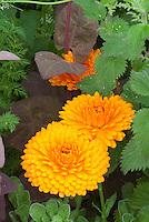 Calendula officinalis in orange flower in garden edible herb