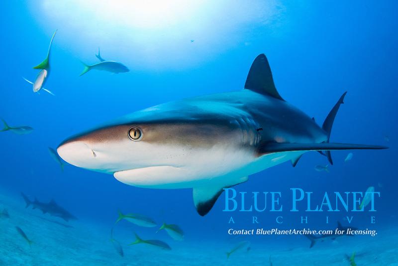 Caribbean reef shark, reef shark, Carcharhinus perezii, Bahama Banks, Bahamas, Atlantic ocean, Caribbean reef shark in clear blue water