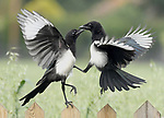 Fights break out between different birds over food by Alex Appleby