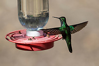 Rivoli's Hummingbird (Eugenes fulgens), male foraging at a feeder in Madera Canyon, Green Valley, Arizona.
