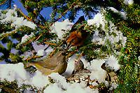 Fichtenkreuzschnabel, Männchen und Weibchen, Paar, Pärchen am Nest im Winter bei Schnee, füttert Küken, Jungvögel, Winterbrut, Fichten-Kreuzschnabel, Kreuzschnabel, Loxia curvirostra, common crossbill, red crossbill, crossbill, male an female, pair, Le Bec-croisé des sapins