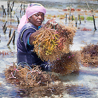 "Jambiani, Zanzibar, Tanzania.  Woman Harvesting Seaweed.  It will be exported to Asian markets after drying.   Tending the plots can only be done at low tide.  Women receive about twelve cents per kilo, ""thin and dried."""