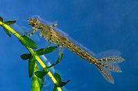 Große Pechlibelle, Larve, Nymphe, Libellenlarve, Pech-Libelle, Ischnura elegans, common ischnura, blue-tailed damselfly, Common Bluetail, larva, larvae, Agrion élégant