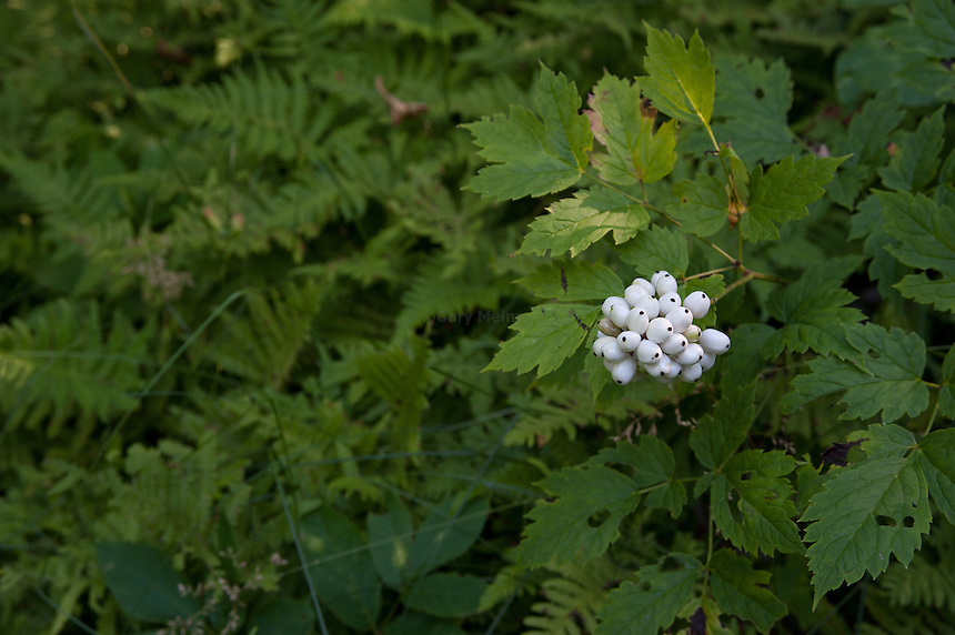 White Baneberry fruit against a leafy background,