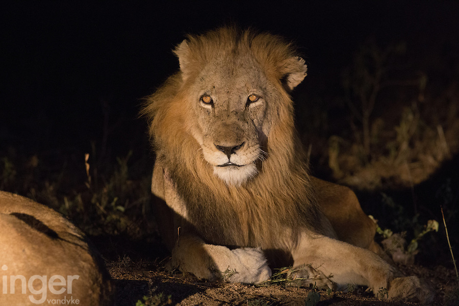 A male lion at night in the Timbavati, South Africa