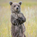 A bear cub appears to dance happily as it stands up and looks around.  The six month old coastal brown bear waves its hands in the air as its mother keeps watch nearby.<br /> <br /> The images were captured by amateur photographer Hao Jiang in Lake Clark National Park in Alaska.  SEE OUR COPY FOR DETAILS.<br /> <br /> Please byline: Hao Jiang/Solent News<br /> <br /> © Hao Jiang/Solent News & Photo Agency<br /> UK +44 (0) 2380 458800