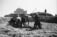 Mascara Area, Algeria, Summer 1961. Typical French Fort for a small harka unit. The wheat crop is handmade and they use their horses to separate the grain from the straw.