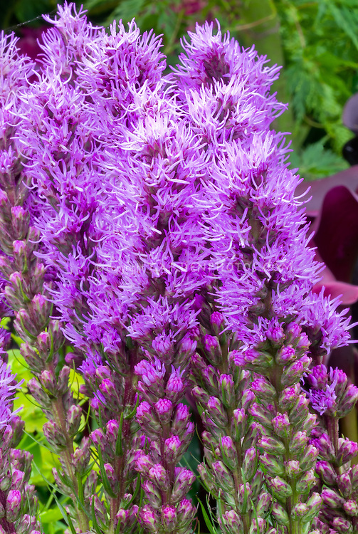 Liatris spicata Kobold gayfeather flower in bloom