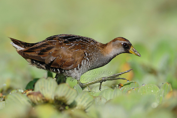 Sora (Porzana carolina), immature walking on water lettuce, Refugio, Coastal Bend, Texas, USA
