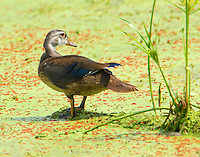 Adult male wood duck in non-breeding plumage in August