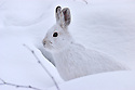 01070-018.18 Snowshoe Hare (DIGITAL) shows remarkable crytic coloration as it sits in snow in forest typical of species.  H6L1