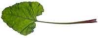 Große Klette, Grosse Klette, Klette, Butzenklette, Arctium lappa, greater burdock, gobō, edible burdock, lappa, beggar's buttons, La Grande Bardane, Bardane officinale, Bardane commune. Blatt, Blätter, leaf, leaves
