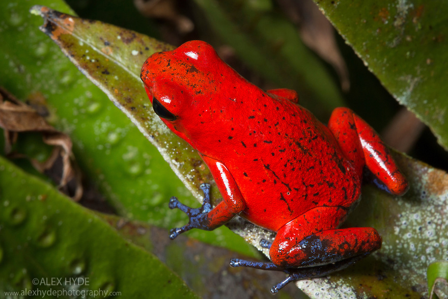 Strawberry Poison Frog {Oophaga pumilio}Central Caribbean foothills, Costa Rica. May.