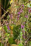 Purple loosestrife, medium shot entire plant, vertical