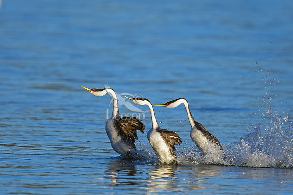 """Western Grebes (Aechmophorus occidentalis) """"rushing"""" or courtship dance.  Western U.S., May.  Sometimes there is an interloper."""