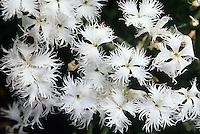 Dianthus arenarius (drought tolerant)