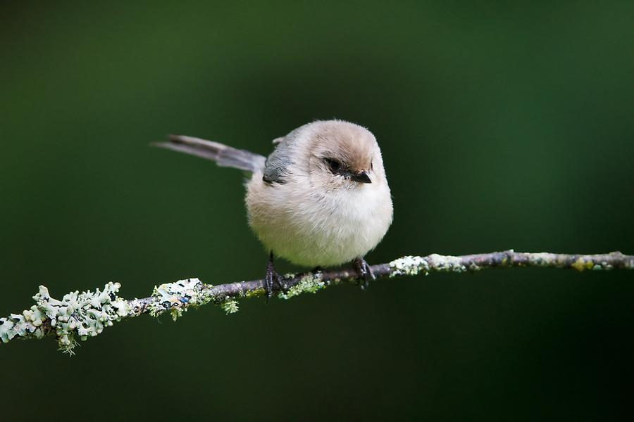 Male bushtit (interior) perched on branch, Snohomish, Washington, USA
