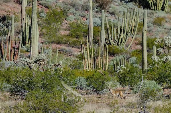 Coyote in Sonoran Desert habitat, Organ Pipe Cactus National Monument, Arizona.