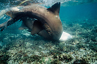 nurse sharks, Ginglymostoma cirratum, male pushing female into bottom during mating, Florida Keys, Florida, Atlantic Ocean