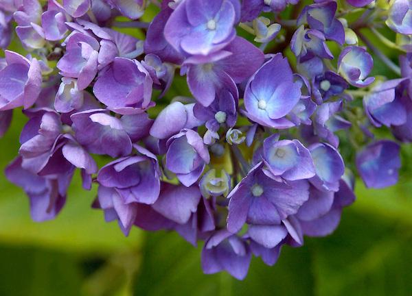 Dripping Hydrangea Photo. Flower Photos. Marc caryl Nature Photos.