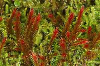Rötliches Seidenglanzmoos, Seiden-Glanzmoos, Orthothecium rufescens