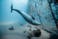Bottlenose Dolphin inspects net, Tursiops truncatus, swimming, Dolphin Reef, Eilat, Israel, Red Sea.