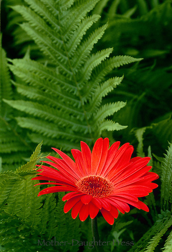 Red Gerbera daisy blooming in summer