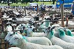 Priddy Sheep Fair Somerset Uk 2009. .