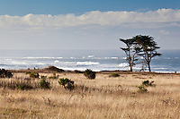 Coastal pines stand over the winter-dormant grasses of the coastal terrace prairie at Ano Nuevo State Reserve on California's coast.
