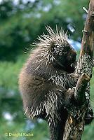 MA05-022z   Porcupine - in tree - Erethizon dorsatum
