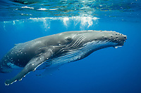 humpback whale, Megaptera novaeangliae, Vava'u, Kingdom of Tonga, South Pacific Ocean (dm)