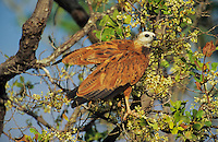 Black-collared Hawk (Busarellus nigricollis), adult perched in tree, Pantanal, Brazil, South America