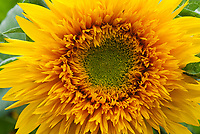 Helianthus Sun King  double tall sunflower