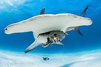 great hammerhead, Sphyrna mokarran, eating bait fish, endangered species, South Bimini, Bimini, The Bahamas, Atlantic Ocean
