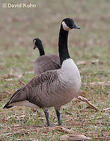 0101-1001  Pair of Canadian Geese Feeding in Corn Harvested Corn Field, Branta canadensis  © David Kuhn/Dwight Kuhn Photography