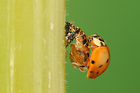 Multicolored Asian lady beetle (Harmonia axyridis), beetle newly emerged from pupa after the shell has hardened, New Braunfels, Hill Country, Central Texas, USA