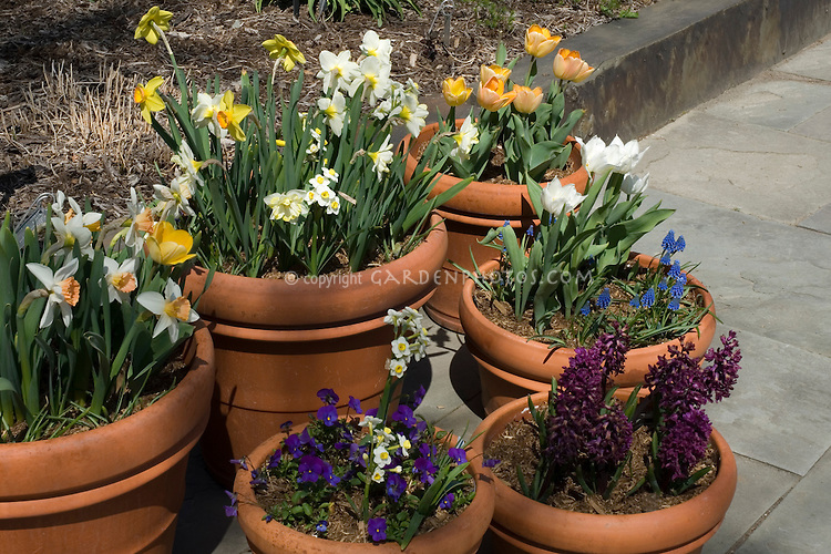 Spring Bulbs in terracotta pots on patio, dwarf daffodils, narcissus, tulips, grape hyacinths, muscari, hyacinthus, hyacinths, viola violete, in yellow, white, orange, peach, blue, purple, varying heights and types