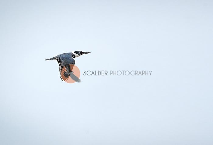Belted Kingfisher in flight in Viera Wetlands, Florida